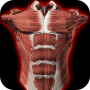 icon Muscular System 3D (anatomy)